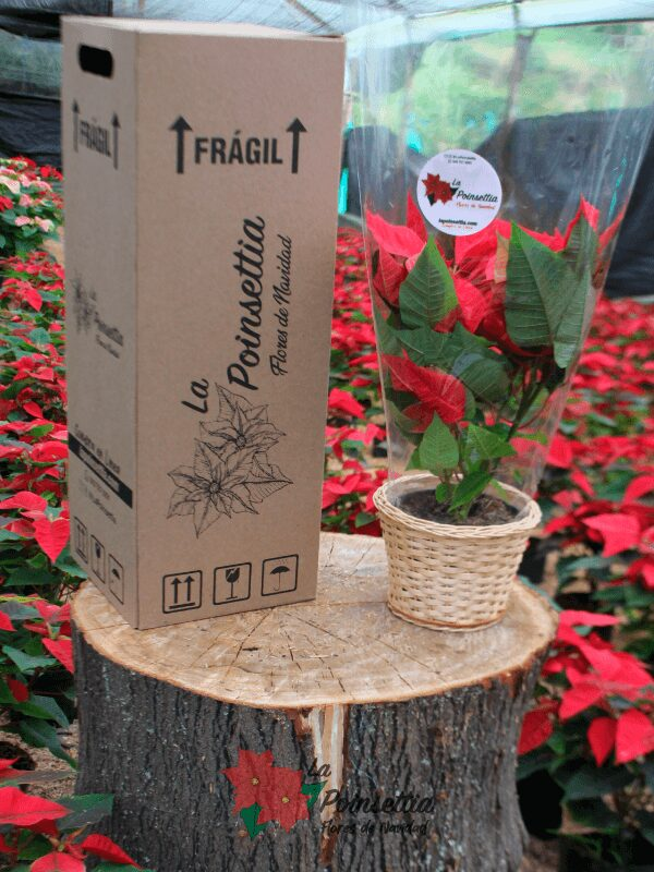 Poinsettia en Matera Mimbre con Caja