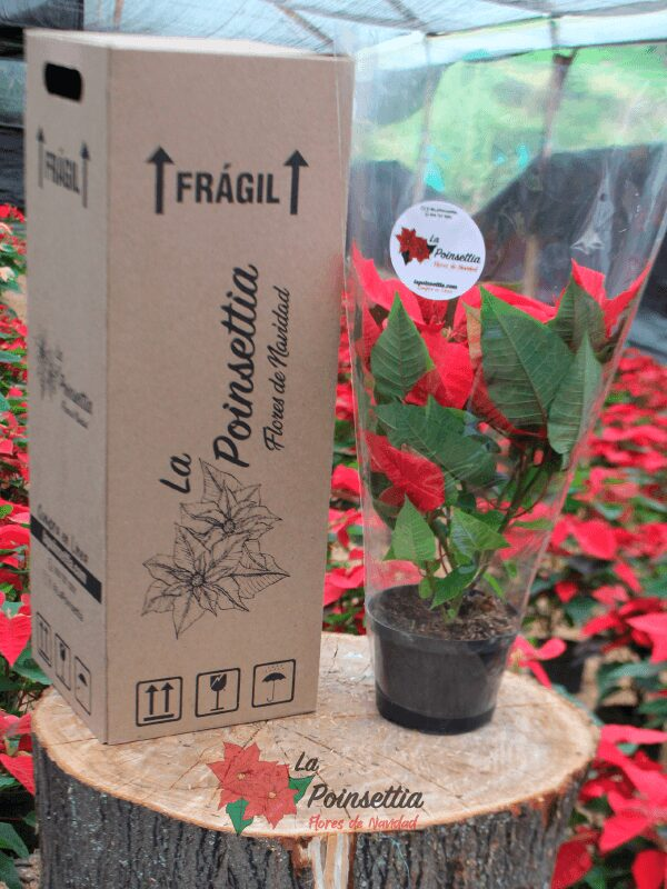 Poinsettia en Matera Negra Básica en Caja