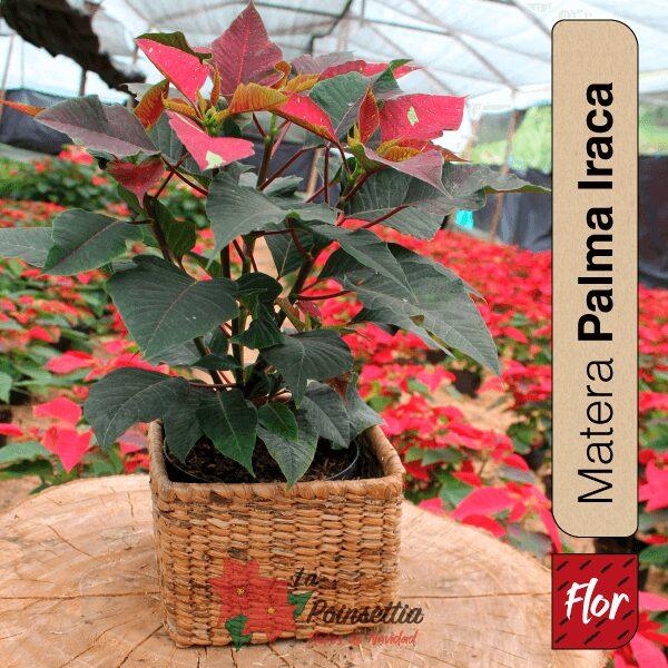 Poinsettia en Matera Palma Iraca Especial